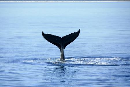 Humpback Whale in Australia photo