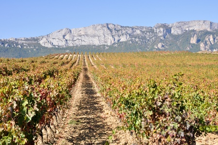Vineyard at Autumn, Rioja Alavesa  Spain   photo