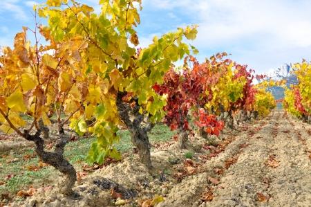 alava: Vineyard at Autumn, La Rioja  Spain