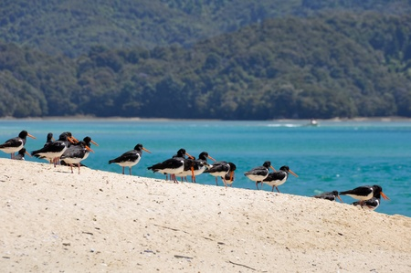 variable: Variable Oyster Catcher, beach of New Zealand