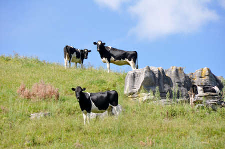 Cows at top of the hill  photo