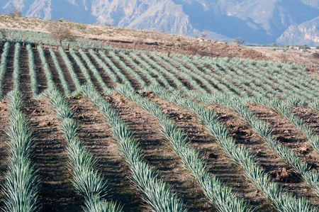 agave: Agave campo en Tequila, Jalisco, México