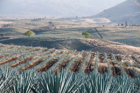 tequila: Agave field in Tequila, Jalisco  Mexico