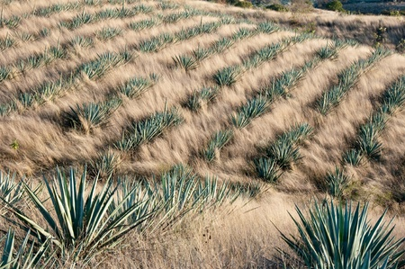 Agave field in Tequila, Jalisco  Mexico  photo