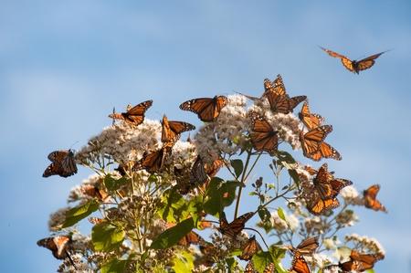 Réserve biosphère du papillon monarque, Michoacan au Mexique Banque d'images
