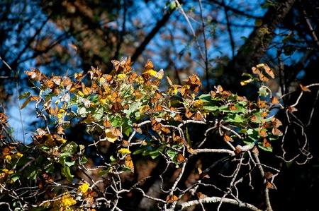 ocampo: Monarch Butterfly Biosphere Reserve, Michoacan  Mexico