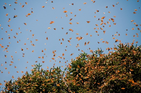 the biosphere: Monarch Butterfly Biosphere Reserve, Michoacan  Mexico
