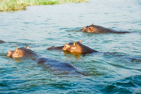 queen elizabeth: Hippo, Kazinga Channel , Queen Elizabeth National Park, Uganda