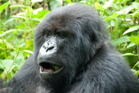 Le gorille des plaines orientales : nos images   WWF