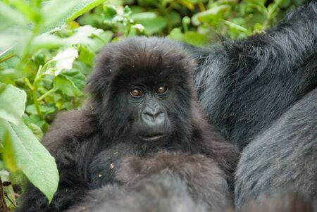 Baby Mountain Gorilla in Volcano National Park  Rwanda  photo