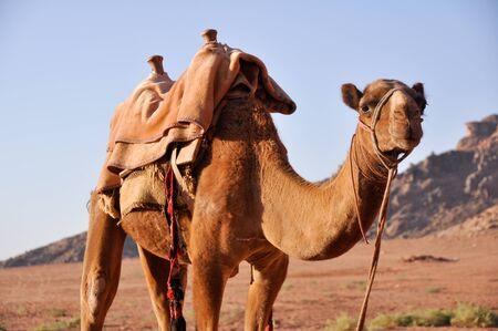 Camel in Wadi Rum  jordan  photo