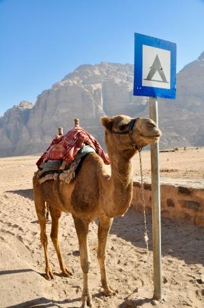 camping pitch: Camel in Wadi Rum desert  jordan