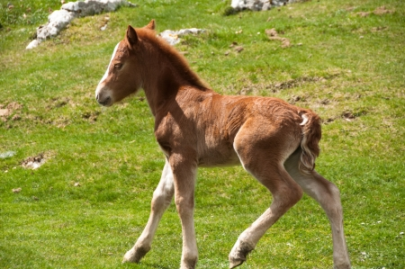 Foal running on a summer pasture photo