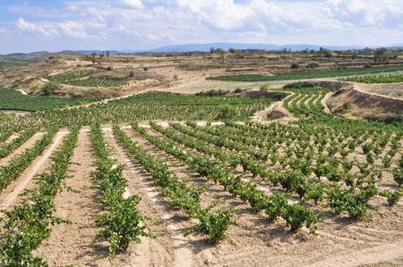 la rioja: Vineyard at summer, La Rioja, Spain
