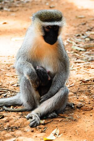 entebbe: Vervet monkey with a baby, Entebbe Botanical Garden, Uganda