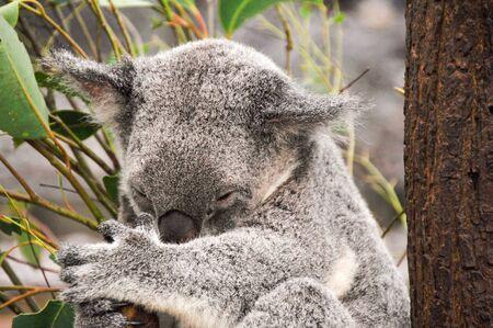 Koala having a rest