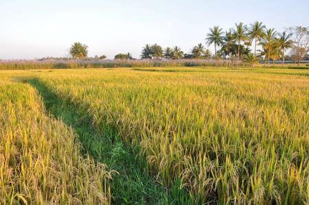 karnataka: Campo de arroz en Karnataka, India Foto de archivo