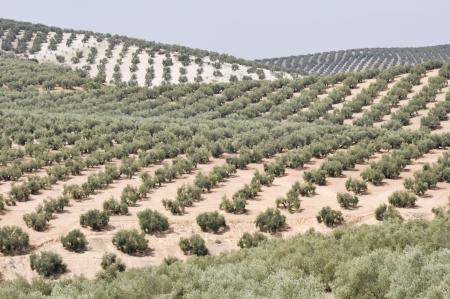 arboleda: Plantaci�n de olivos, Andaluc�a, Espa�a