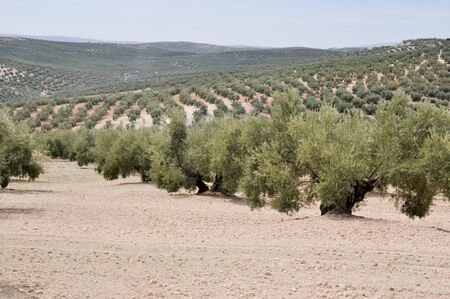 Plantation of olive trees, Andalusia, Spain photo