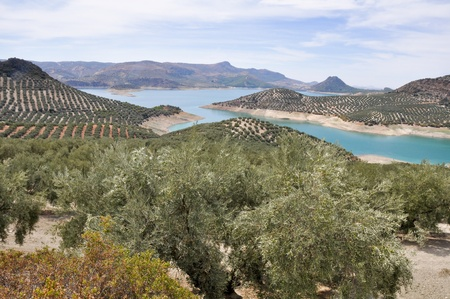 Plantation of olive trees, Andalusia  Spain  photo