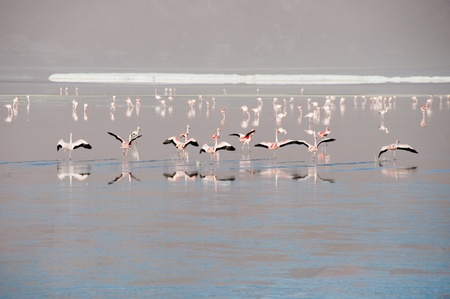 Flamingos in the Salt flat of Atacama  Chile  photo