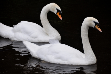 White swans on black background photo