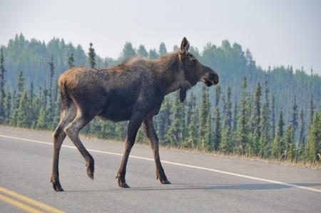 denali: Wild moose crossing the road, Denali national park, Alaska