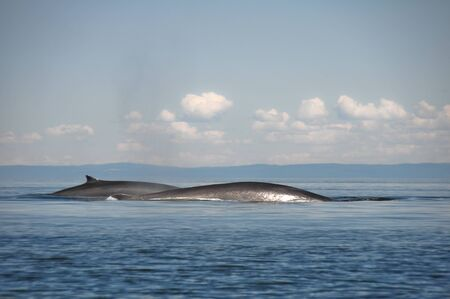 lawrence: Fin whales, St Lawrence river, Quebec  Canada