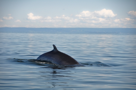 minke: Fin whale, St Lawrence river, Quebec  Canada