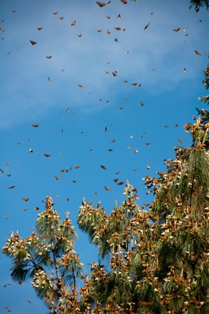 biosphere: Monarch Butterfly Biosphere Reserve, Michoacan, Mexico