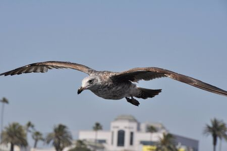 Sea Gull in Flight, Santa Monica, USA photo