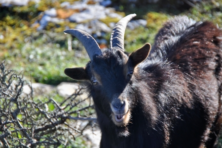wild goat: Cabra salvaje, Sierra Salvada, Espa�a