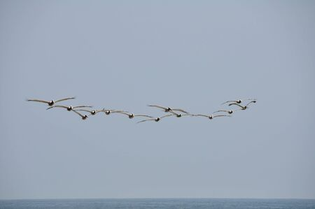 Pelicans in Flight at Malibu Beach, California Stock Photo - 17897986