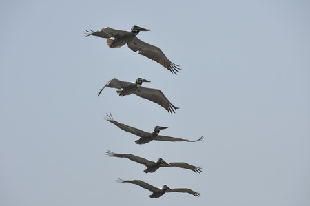 Pelicans in Flight at Malibu Beach, California Stock Photo - 18007778