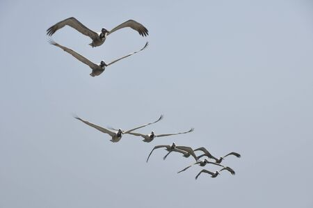 Pelicans in Flight at Malibu Beach, California Stock Photo - 17897983