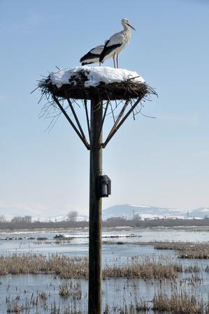 White storks on a nest, Salburua park, Vitoria, Spain photo