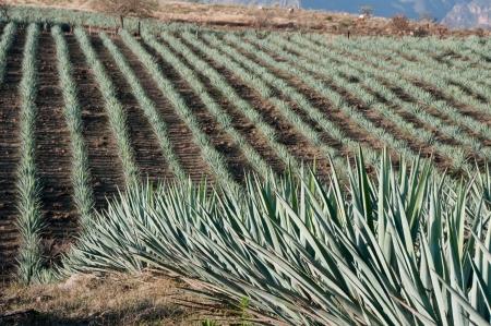 agave: Campo Agave en Tequila, Jalisco, México