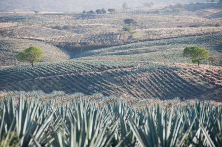 Agave field in Tequila, Jalisco, Mexico Stock fotó