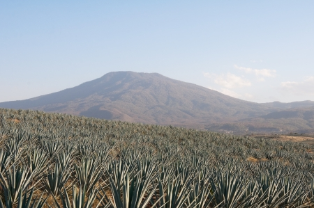Agave field in Tequila, Jalisco, Mexico Stock Photo