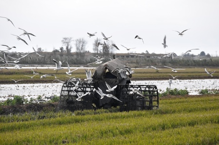 Paddy field in the Ebro Delta, Spain photo