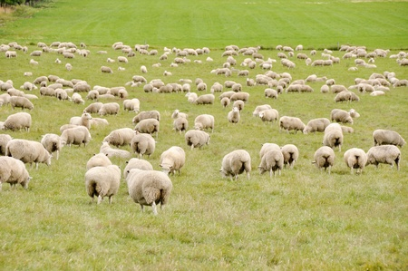 flock of sheep: Sheep in New Zealand  Stock Photo