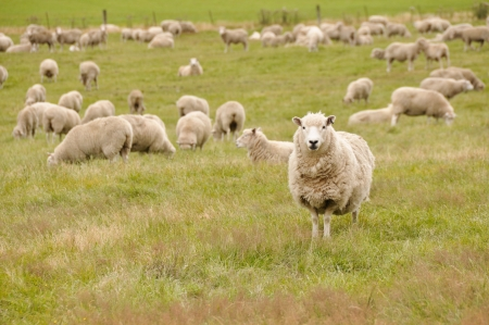 Sheep in New Zealand  photo