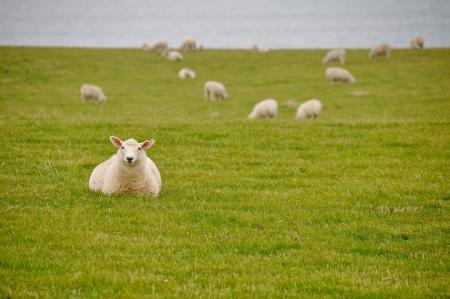 Sheep near the sea in New Zealand  photo