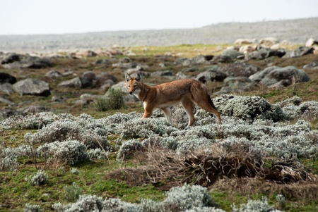 wolf: Simien wolf, Ethiopian Highlands