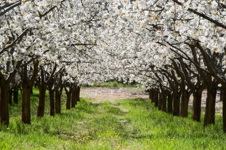 Cherry blossoms, Caderechas valley, Spain photo