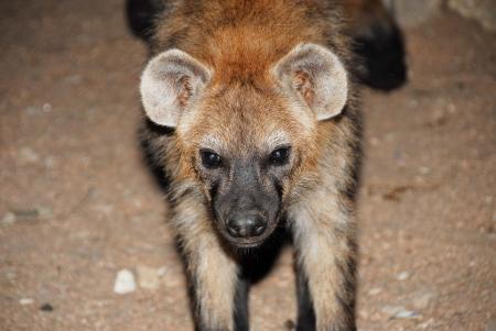 iene: Le iene di Harar, Etiopia
