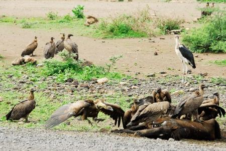 bird eating raptors: Vultures eating a dead horse Stock Photo