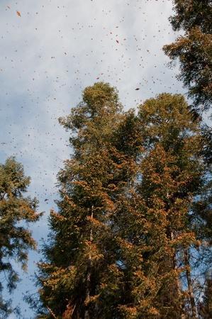オオカバマダラ生物圏保護区、ミチョアカン州, メキシコ 写真素材 - 20636083