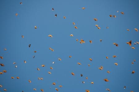 Réserve biosphère du papillon monarque, Michoacan, Mexique Banque d'images - 20635980