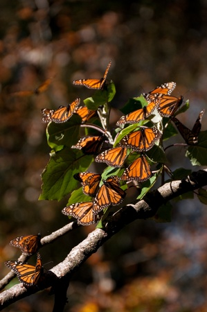 the biosphere: Monarch Butterfly Biosphere Reserve, Michoacan, Mexico